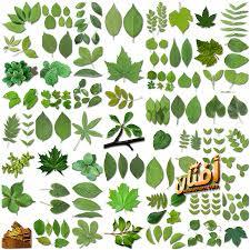 Png كولكشن سكرابز اوراق شجر اخضر عالي الجوده للفوتوشوب Png