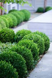 Buy Baby Gem Boxwood Free Shipping 1 Gallon Pot Size For Sale From Wilson Bros Gardens Online