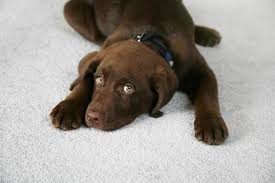 clean carpet healthy pets how to have