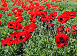 Poppy - Anzac POPANZ | Awapuni Nurseries | New Zealand