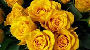 beautiful yellow flower wallpaper