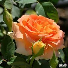 صور ورود طبيعيه اشكال الربيع في زهرات البساتين بنات كول