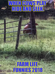 Image Tagged In Hide And Seek Farm Life Pbplace4me Shelleyoliver Shelley Oliver Cow Imgflip