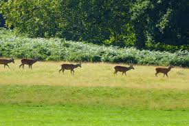 Deer Watching in Richmond Park ...