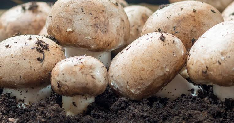 Image result for brown mushroom growing