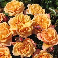 Susie (Harwhistle) – Cants Roses