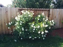 Shrub Rose Falling Over