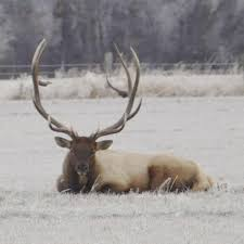 Hunter Facing Charges After Death Of Beloved Elk Named Bullwinkle Local Yakimaherald Com
