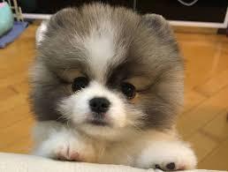 Teacup Pomeranian Is The Best Apartment ...
