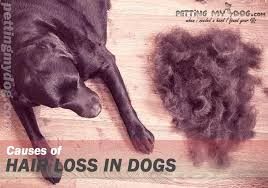 dog itching and losing hair