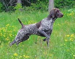 breeding german shorthaired pointers