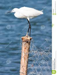 Little Egret Standing On Fence Post Stock Photo Image Of Post Egretta 108096640