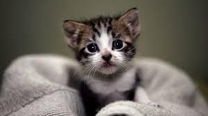 free cute kitten wallpaper the