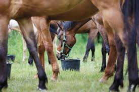 grains for horses cooked or uncooked