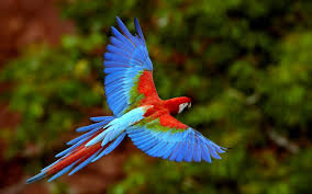 birds parrots scarlet macaws macaw