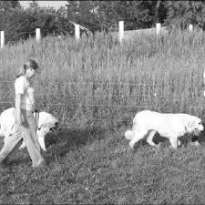 Pdf Good Fences Make Good Neighbors Implementation Of Electric Fencing For Establishing Effective Livestock Protection Dogs