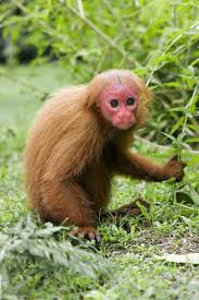 Red bald uakari - Stock Image - C009/1454 - Science Photo Library