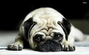 cute pug wallpapers top free cute pug
