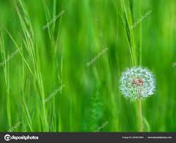 scene with dandelion in spring with a