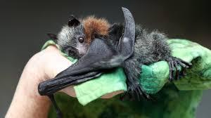 causing havoc to bat population ...