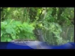 Gator Climbs Fence Youtube