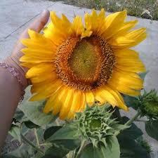 segarkan halaman rumah anda dengan bunga matahari bunga berwarna
