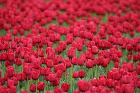 صور ورد أحمر صور رائعة الجمال عالية الجودة روزبيديا