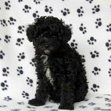 toy poodle mix puppies