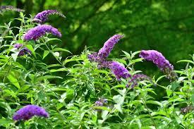 deer resistant shrubs for landscaping