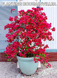 planting bougainvillea in pots the mix