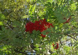 Rowan Berries and Crab Apples