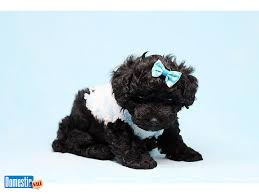Bang Toy Maltipoo Puppy 2 000