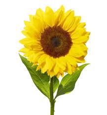 Image result for sun flower