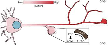AKAP-mediated feedback control of cAMP gradients in developing hippocampal  neurons - Nat. Chem. Biol. - X-MOL