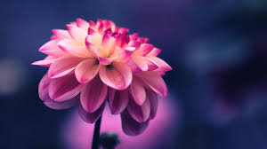 beautiful flower pink color nice nature quotes