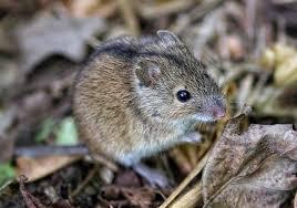 مجموعة الأسر السيلفانية هي عائلة من الفئران الأسر Sylvanian