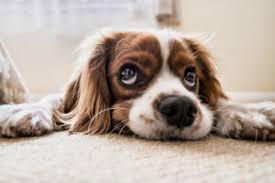 dog urine smell from carpet