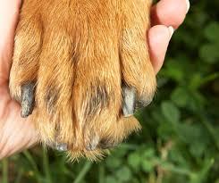 brittle ed nails painful dog problem
