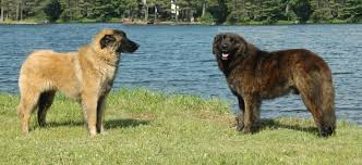 Estrela Mountain dogs near the water ...