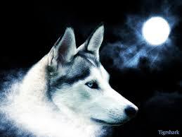 white siberian husky dog