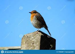 A Garden Robin Standing On A Fence Post Stock Image Image Of Spring Post 179896887