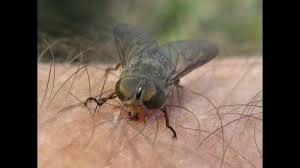 March Fly Warning for Northern Goldfields | Triple M