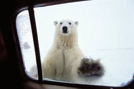 If It Gets Me It Gets Me The Town Where Residents Live Alongside Polar Bears World News The Guardian
