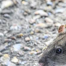 Übertragungen dieses virus von ratten auf. Cdc Identifies Seoul Virus Outbreak Among Pet Rat Owners The Scientist Magazine
