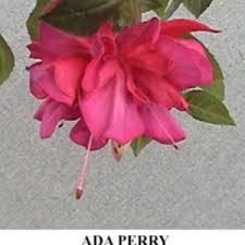 Fuchsia 'Ada Perry' in the Fuchsias Database - Garden.org