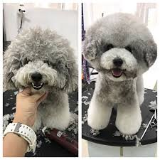 toy poodle grooming goldenacresdogs