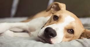ps of canine skin diamond pet foods
