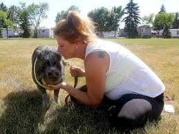 Priscilla the pig has finally found a new place to live | Calgary ...