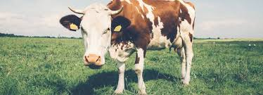 holiday gifts for cow and dairy