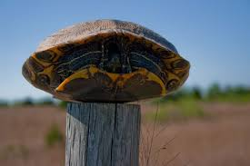 A Turtle On A Fence Post The Hawk S Nest Turtle Fence Post Fence